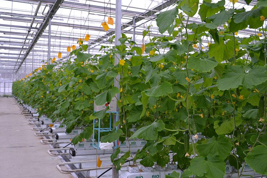Бизнес план выращивание огурцы 84